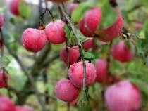 Саженцы плодово-ягодные, в г.Родники