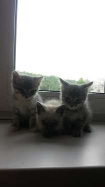 Дарим котят, симпатичные, чистоплотные, самостоятельные, в Иркутске