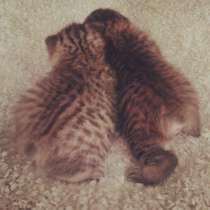 Пикси боб - кошка Рысь, в Москве