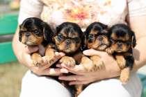 Продаются очаровательные щенки Кинг Чарльз Спаниель, в Владивостоке