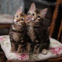 Бенгальские кашемировые котята, в Челябинске