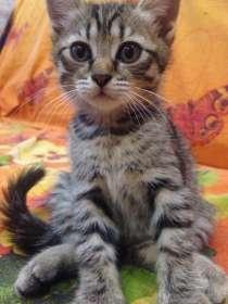 Продам котят, в Новосибирске