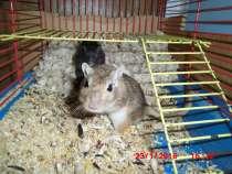 Мышки-песчаночки, в г.Добрянка