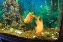 Продам аквариумных рыбок, в Санкт-Петербурге