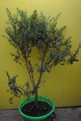 Мирт многолетнее лекарственное растение. в г. Ессентуки Фото 1
