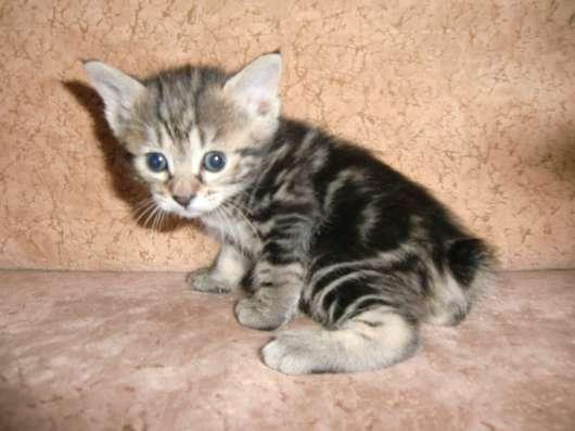 Бобтейла курильского высокопородные котята