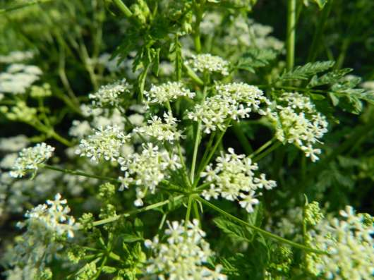 Болиголов цветы, семена, саженцы, сухая трава
