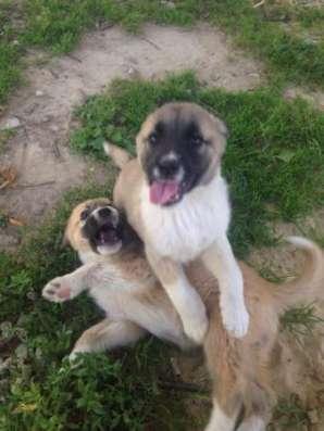 Отдам замечательных щенков алабая метисов в добрые руки! в Обнинске Фото 5