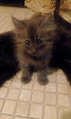 Котята эрмики в Краснодаре Фото 5