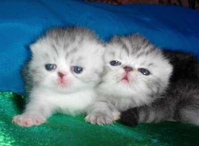 Экзотические котята клубные