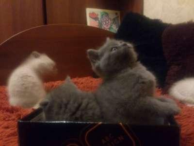 Шотландские котята в Твери Фото 1