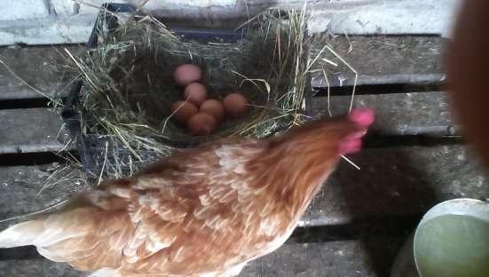 Яйца домашние куриные диетические в Туле Фото 3