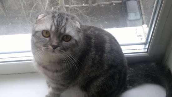 Вязка с шотландским вислоухим котом