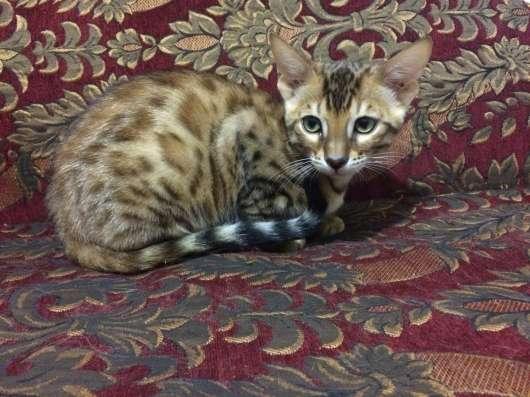 Бенгальский Коты