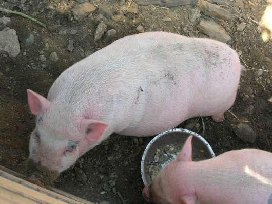 Вьетнамские вислобрюхие молодые свинки