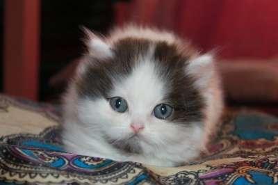 Клубный шотландский котенок хайленд