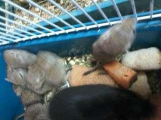 Мыши песчанки, можно на корм в Сургуте Фото 1