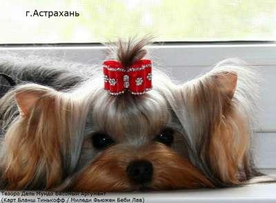 Щенков йоркширского терьера! в Астрахани Фото 4