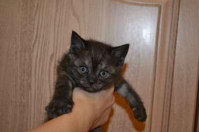 шотландские котята в Клине Фото 2