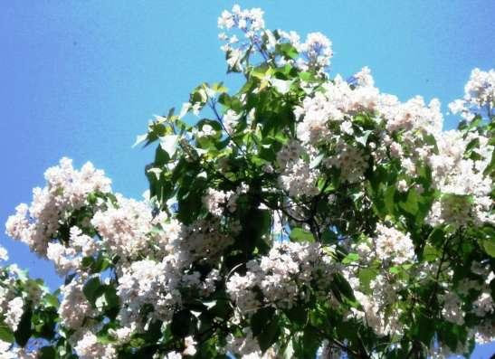 Катальпа - дерево потрясающей красоты. Саженцы