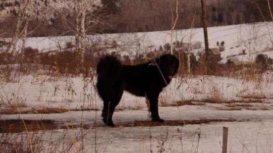 Монгольская овчарка Банхар в Красноярске Фото 2
