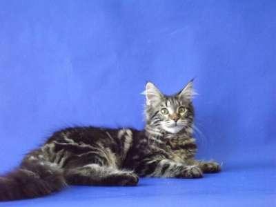 Котята породы мейн-кун в г. Элиста Фото 4
