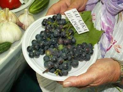 Саженцы винограда Загадка Шарова в Москве Фото 1
