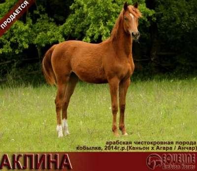 Продается арабская кобылка АКЛИНА в Краснодаре Фото 1