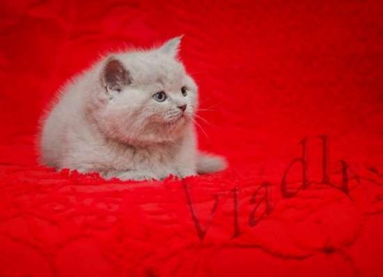 Замечательные котята скоттиш фолд и скоттиш страйт