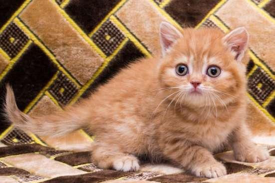 Чистокровный британскии котенок в Саратове Фото 1
