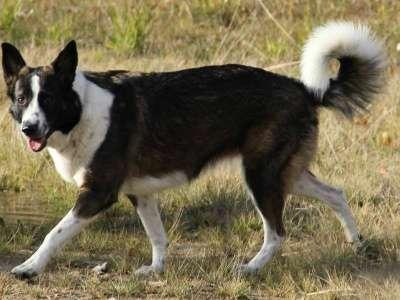 Отдам даром Мотя метис лайки молодая собака в Санкт-Петербурге Фото 4