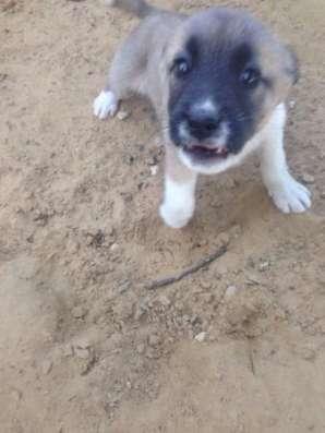 Отдам замечательных щенков алабая метисов в добрые руки! в Обнинске Фото 4