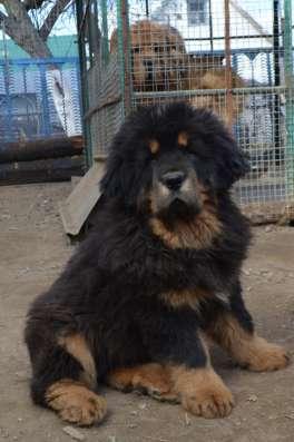 Тибетский мастиф - лучший охранник в Москве Фото 1