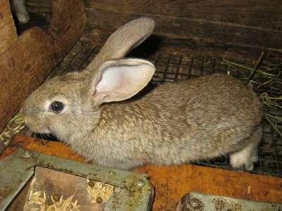 кролики мясной породы в Омске Фото 1