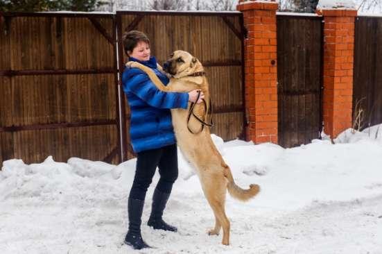 Щенки турецкого кангала (Анатолийская овчарка) в Москве Фото 2