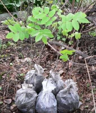 Саженцы маньчжурского ореха в Хабаровске Фото 4