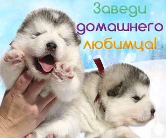 Высокопородные щенки Аляскинского Маламута