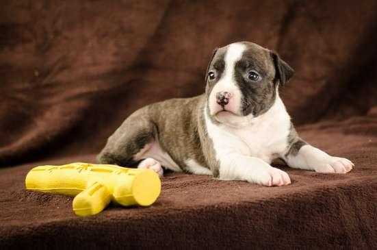 Такой щенок станет для Вас незаменимым компаньоном в г. Киев Фото 3