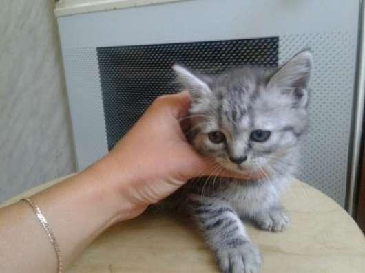 Отдам породистых котят в Ярославле Фото 1