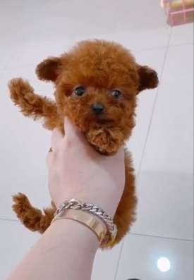 Poodle puppies delivery from
