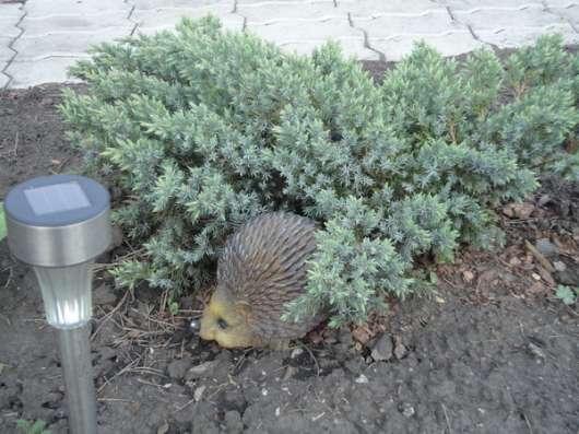 Хвойные растения. Саженцы зкс в Воронеже Фото 2