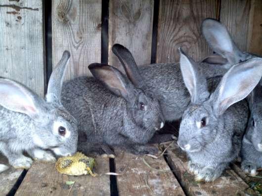 Крольчата мясной породы