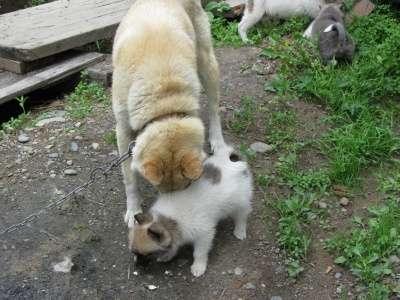 лайки щенки