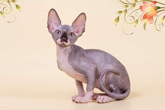 Cфинкс, это кошка с другой планеты в Саратове Фото 4