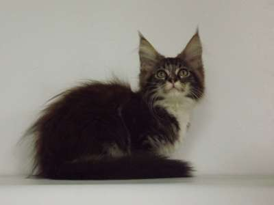 Котята породы мейн-кун в г. Нальчик Фото 5