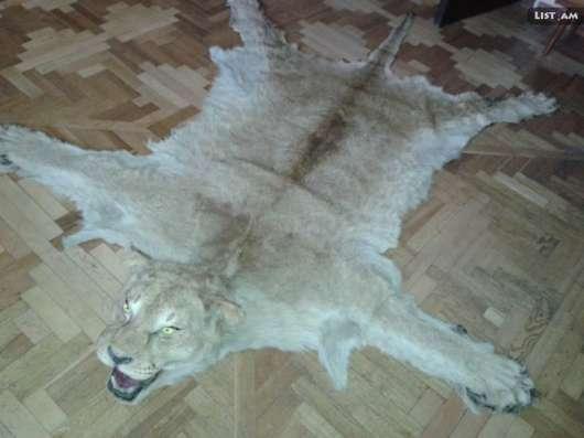 Шкура львицы в г. Ереван Фото 1