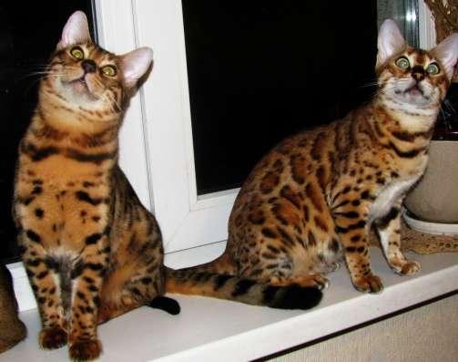 Бенгальские котята Питомник бенгальских кошек sunnybunny в г. Кобрин Фото 4