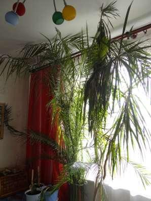 Финиковая пальма 3,5 м в Москве Фото 2