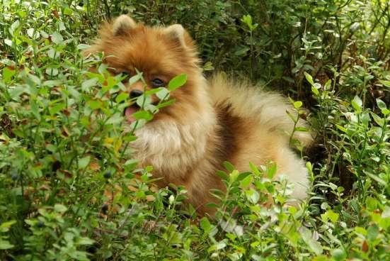 Породные щенки померанского шпица от питомника Лаки Шарм