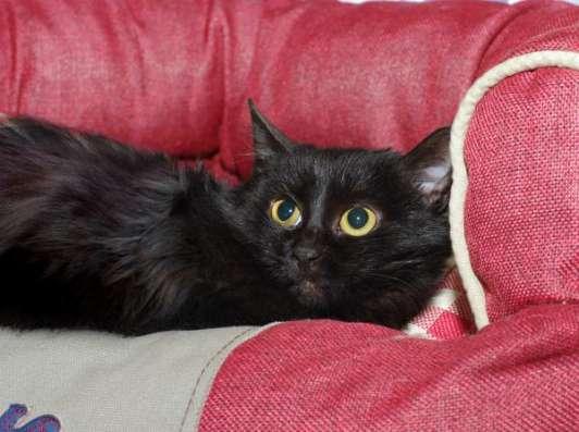 Черная восточная ночь - котенок Суламифь в дар. в Москве Фото 4